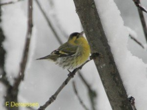 20130211_carduelis-spinus_fourcinet-22-blog-300x225
